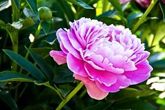 DSC_3256 (seanlynchh) Tags: plants ny lynch flower floral closeup museum photoshop island bay nikon long arboretum sean historic adobe elements fields hal oyster tamron 18200 coe planting d7100