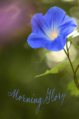 Glory in The Morning (Lindaw9) Tags: morning glory flower bokeh colours leaves foliage light