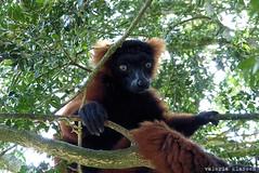 P1060224 (LaBonVampire) Tags: lemur animals nature leica leicalenses lumix