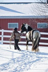 shelleypaulson_2009-192-1 (Shelley Paulson) Tags: barn equine fence gallop gypsyvanner horse leading minnesota snow winter
