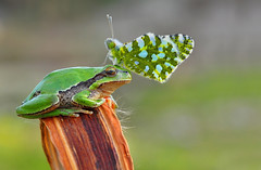 CROWN (Blackdiamond7075) Tags: butterfly nature animal macro tree cute frog amphibian treefrog plant horizontal wildlife outdoors looking environment leaf rainforest hanging climbing toad small copyspace multicolored resting tropicalrainforest wildlifereserve greencolor macrodreams