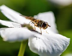 Enjoying the Last of Summer (dshoning) Tags: flower white iowa vinca