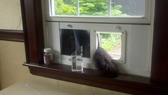 Cat window flap in action
