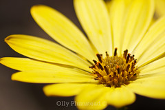 Yellow Petals (Olly Plumstead) Tags: flower macro yellow canon petals raw centre stamen pollen olly tamron plumstead 450d