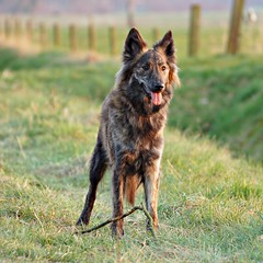 wilya (serni) Tags: dog dutch shepherd herdershond hollandse serni wilya