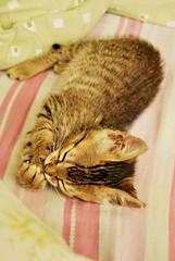 Sweet dreams (Thile Elissa) Tags: ri baby animal marie nikon dream mimi gato linda gata felino beb amo filhote bicho sonho sono dormindo pequeno gatinha bebezinho d3000 nikond3000 thileelissa