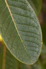 Rhododendron sinogrande: Leaf (sfb_dot_com) Tags: china tree green woodland spring asia foliage evergreen alpine ericaceae shrub himalayas perennial cultivated dicot venation temperate montane afsvrmicronikkor105mmf28gifed ericales cooltemperate calcifuge