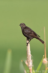 female Tricolored Blackbird
