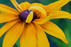 Nature's Ballet (baldwinm16) Tags: summer flower nature yellow petals illinois lakemichigan greatlakes il wildflower blackeyedsusan fortsheridan openlandslakeshorepreserve