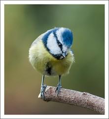 Nice to meet ya !   : - ) (taxidriver2002) Tags: raw bluetit gardenbirds lr4 nikond90 nikkor70300vr highqualityanimals