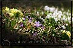 Spomladanski vrtek (Spejal Agent) Tags: flowers nature trash spring violets recycle eco eko reuse reduce primroses narava letsdoit pomlad firsttheearth oistimo ekologibrezmeja roice cleantheworld cleanigaction