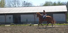 C'est avec une main lgre que l'on apprend au cheval  travailler (Catch.me.if.you.can) Tags: cheval le travail sur plat gallop chevaux poney dressage poneys galop travailsurleplat