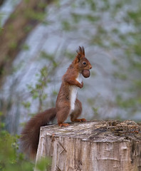 _MG_0486_Get some Nuts 2 (HelmiGloor) Tags: ngc eichhrnchen redsquirrel autofocus sciurusvulgaris thegalaxy natureplus floraandfaunaoftheworld ringexcellence dblringexcellence tplringexcellence flickrstruereflection1 eltringexcellence rememberthatmomentlevel4 rememberthatmomentlevel1 magicmomentsinyourlife magicmomentsinyourlifelevel2 magicmomentsinyourlifelevel1 rememberthatmomentlevel2 rememberthatmomentlevel3 magicmomentsinyourlifelevel3 magicmomentsinyourlifelevel4 rememberthatmomentlevel7 rememberthatmomentlevel9 rememberthatmomentlevel5 rememberthatmomentlevel6 rememberthatmomentlevel8 rememberthatmomentlevel10 vigilantphotographersunite