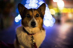 One of These Nights (moaan) Tags: dog corgi welshcorgi pochiko night light bokehnight nightlights illuminations walk stroll canoneos5dmarkiii ef50mmf12lusm 50mm f12 bokeh dof digital utata 2012
