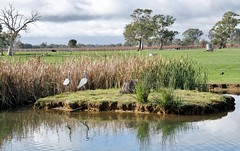 Nice spot to sit and sip (robynbrody) Tags: trees reflection nature water windmill grass animal rural fence reflections landscape geotagged vineyard tank cows wine farm australia vineyards farms agriculture southaustralia coonawarra penola