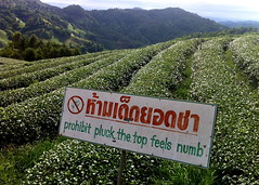 Prohibit Pluck the Top Feels Numb, Doi Mae Salong (adventurocity) Tags: travel vacation tourism thailand roc photography photo photographer tea chinese picture visit tourist traveller adventure visitor teaplantation esl goldentriangle chiangrai traveler oolong kmt kuomintang republicofchina maesalong doimaesalong แม่สลอง thaitoenglish maefaluang 93rddivision santikhiri สันติคีรี daenlaorange