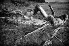 Old tree near beach (Jimmy Svensson) Tags: bw tree beach skne sweden oldtree scandinavia scania hgans oldpine strandbaden lumix20mmf17 lumixdmcgf3