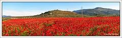 Campo de amapolas (Lourdes S.C.) Tags: espaa naturaleza andaluca spain andalusia jan amapolas campodeamapolas provinciadejan