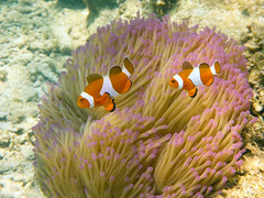 Nemo & Nemo (Charles EYES PiX) Tags: ocean camera sea mer fish underwater nemo clown snorkeling malaysia waterproof kelantan malaisie anemome sousmarin aquatique poissonclown pasirputeh ft5 eyespix