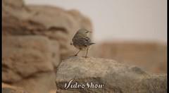 #video #بومة #owl #gufo #تصويريـﮯ #صوري #عدستي #تصويري #تطعيس #سيارات #photo #photos #photogrid #instaphoto #bird #birds #car #cars #saudiarabia #Saudi_Arabia #ksa #Mustang #Shelby #sony #a57 (Instagram x3abr twitter x3abrr) Tags: bird cars car birds photo photos sony owl shelby mustang saudiarabia ksa a57 gufo عدستي سيارات صوري تصويري photogrid تطعيس instaphoto تصويريـﮯ