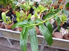 Dendrobium bullenianum 3 (heinvanwinkel) Tags: 2012 asparagales bloemvandedag dendrobiinae dendrobiumbullenianum epidendroideae euphyllophyta hortus juni leiden liliopsida magnoliophyta malaxideae mesangiospermae nederland orchidaceae petrosaviidae spermatophyta tracheophyta