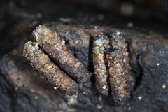 caddisfly larva cases (myriorama) Tags: caddisfly larvae cases creek rock attached trichoptera