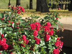 Autumn in Red. (lyudmila fomina) Tags: flowerbed flower redroses autumn urban nature park canon mygearandme autofocus awesomeblossom awesomeblossoms