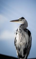 Heron, Aberdaron, Wales (thumblengthlegs) Tags: heron aberdaron wales wildlife bird birdlife spar