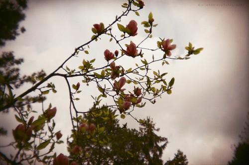 magnolia - holga by Viva Deva