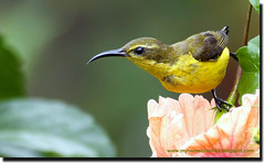 beautiful nature... (tank msia) Tags: olivebackedsunbird cinnyrisjugularis sat16april
