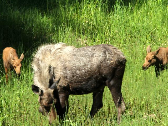 Mama Moose and twins 20110617