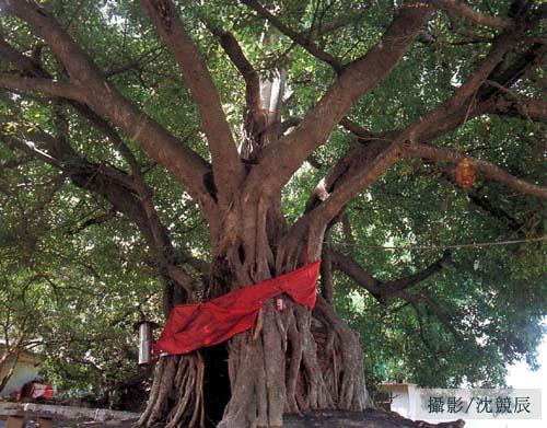 台中市南區樹德里的榕樹號稱最大膽的榕樹,它將土地公廟包埋,你說大不大膽?圖片來自:特生中心網站。