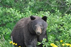 Black Bear - 08