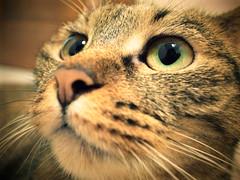 心愛貝貝的眼睛 (Chrischang) Tags: pet cat 猫 貓 beibei 貝貝