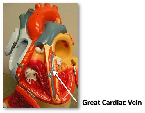 Great Cardiac Vein The Anatomy Of The Heart Visual Atlas Page 30