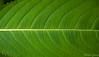Leaf [272/365] (Mathias Sjoberg) Tags: leaf d40 nikon1855 dpsgreen