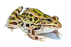 [フリー画像] 動物, 両生類, カエル, 201107080500