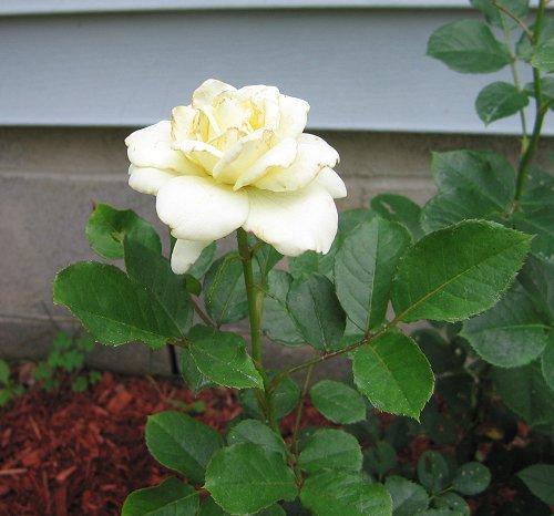 "Floribunda Rose ""Moondance,"" For Archival Purposes Only. by Leenechan"