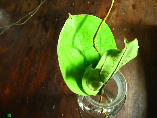 Hoya lambii (IML 1046)