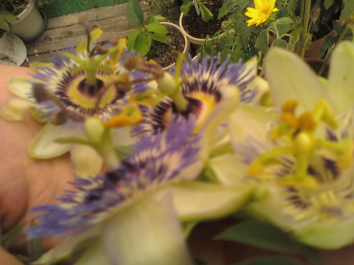 some of my passiflora - Page 2 5908251162_299437316e
