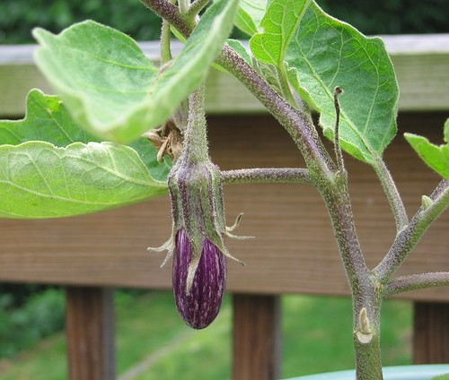 Fairy Tale Eggplant. by Leenechan