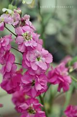 (juliewoo) Tags: pink flowers green spring nikon d90 105mmf28dmicro
