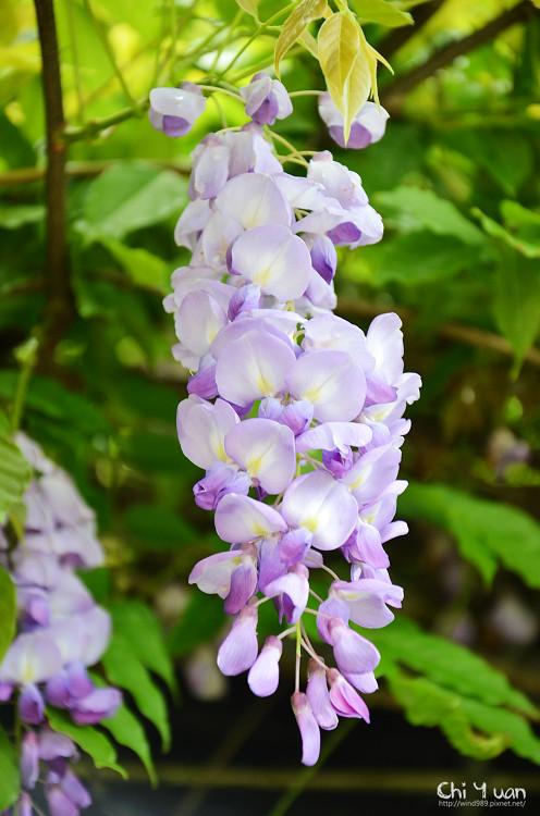 竹子湖紫藤07.jpg