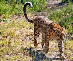 Pacing Leopard - Cropped (DHaug) Tags: canon geotagged tanzania kenya leopard bigcat wildanimal spotted masai f28 maasai 70200mm maasaimara pantherapardus 5dmkii flickrbigcats