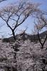 IMGP6852 (Aḥmad) Tags: flower japan spring 桜 日本 sakura kiryu زهرة 春 さくら ساكورا ربيع 桐生 يابان
