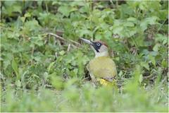 PICCHIO VERDE - Picus viridis (ric.artur) Tags: verde bird nature torino natura ali uccelli piemonte po animali naturalmente lipu volatili picchio naturae naturaee