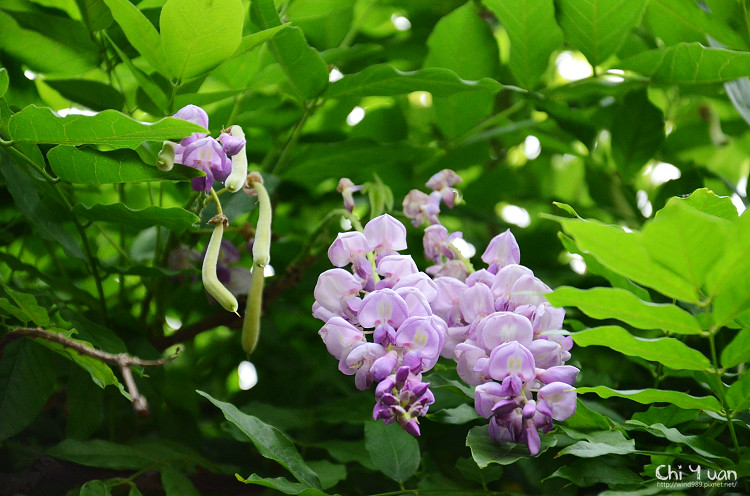 植物園紫藤09.jpg