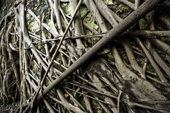 Straight Roots  (olvwu | ) Tags: old house tree brick leaf stem taiwan historic warehouse ficus tainan root  banyan banyantree tainancity anping historicsite historicbuilding  historicarchitecture jungpangwu oliverwu oliverjpwu moraceae     ficusmicrocarpa  olvwu  aerialroot  anpingdistrict jungpang indialaurelfig taitco aerialproproot marabutan yongshuh