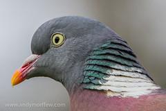 Woodpigeon Portrait (Andy Morffew) Tags: portrait hampshire woodpigeon specanimal itchenabbas naturethroughthelens birdperfect blinkagain andymorffew morffew