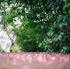 footfall on petals (Just-a-Song) Tags: film floral square montana kodak run sidewalk fragrant earlysummer hasseblad500cm runningintherain lilacpetals ektar100 scentedair averyrainyday verylatespring earlyjune2012 ripewithbloom gottalottawords